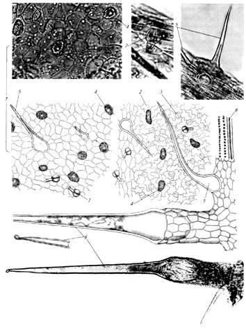 Микроскопия листа крапивы