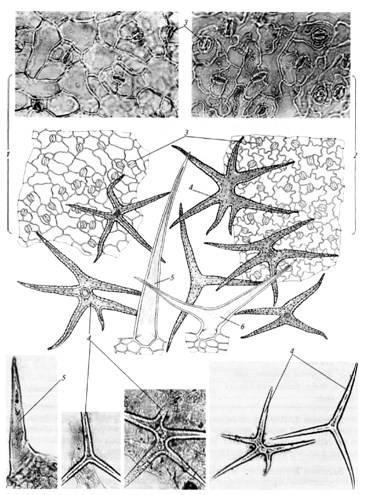 Микроскопия листа пастушьей сумки