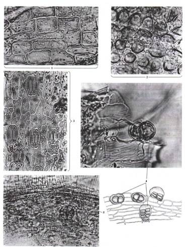 Микроскопия цветка ромашки