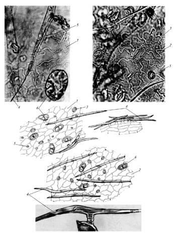 Микроскопия листа полыни горькой