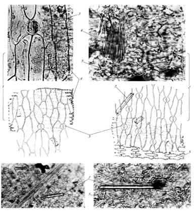 Микроскопия листа ландыша