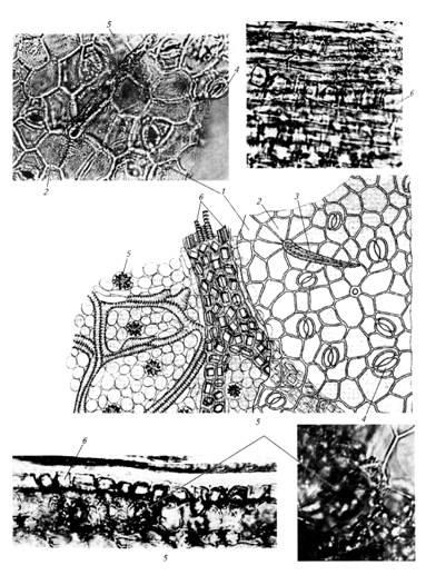 Микроскопия листа сенны