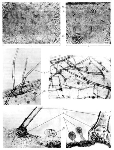 Микроскопия листа пустырника