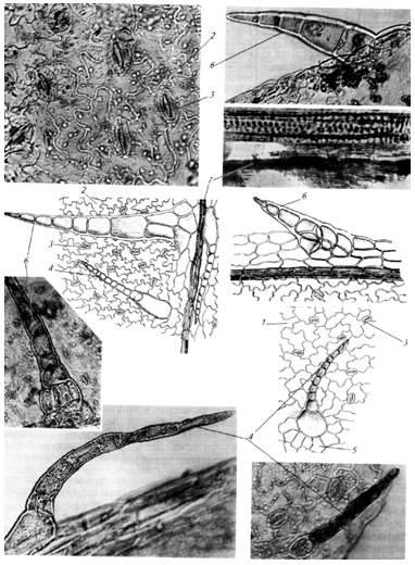 Микроскопия листа череды