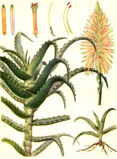 Алоэ древовидное (Aloe arborescens Mill.)