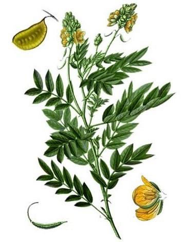 Кассия остролистная - сенна (Cassia acutifolia)