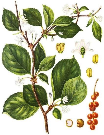 Лимонник китайский (Schizandrae chinensis)