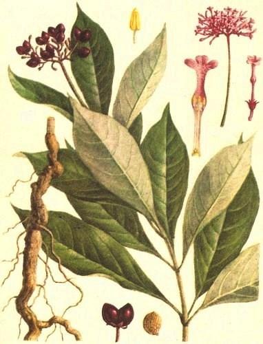 Раувольфия змеиная (Rauwolfia serpentine)