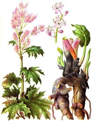 Ревень тангутский (Rheum palmatum)