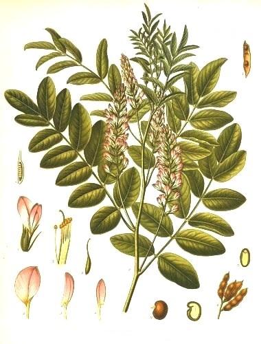 Солодка голая (Glycyrrhiza glabra)