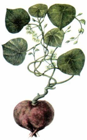 Стефания гладкая (Stephania glabra)