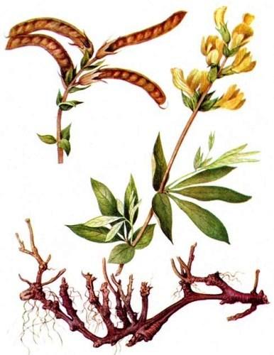 Термопсис ланцетный (Thermopsis lanceolata)