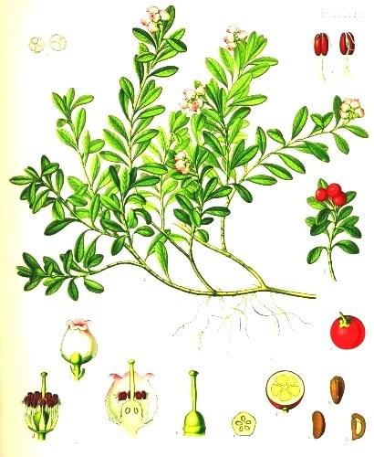 Толокнянка обыкновенная (Arctostaphylos Uva Ursi)