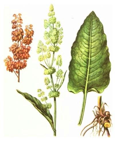 Щавель конский (Rumex confertus)