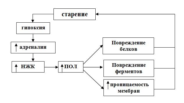 Участие перекисного окисления липидов в процессе старения. Геронтология
