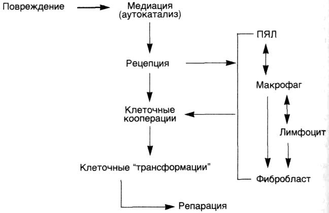 Клеточные системы защиты и кинетика воспалительной реакции