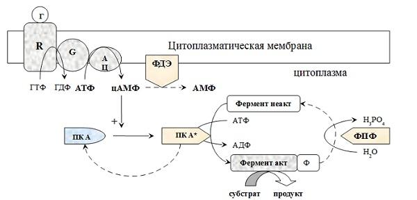 Трансмембранная передача информации с участием аденилатциклазной системы