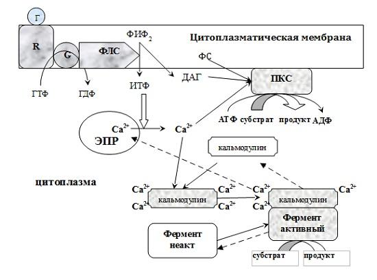 Трансмембранная передача информации с участием инозитолтрифосфатной системы