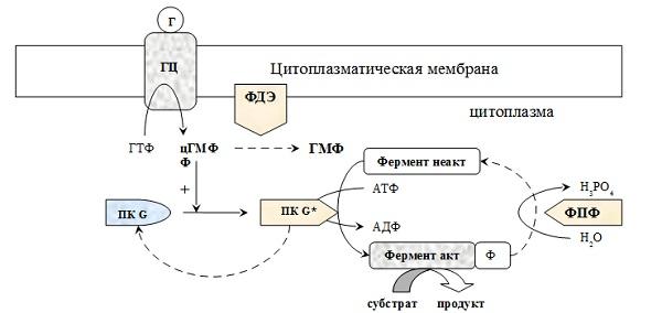 Трансмембранная передача информации с участием гуанилатциклазной системы