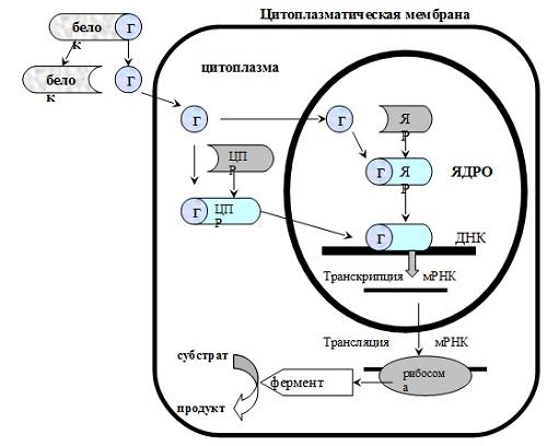 Трансмембранная передача информации с участием цитоплазматических и ядерных рецепторов