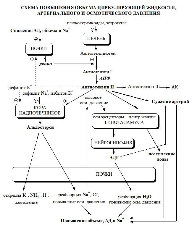 Водно-солевой обмен. Схема регуляции водно-солевого обмена