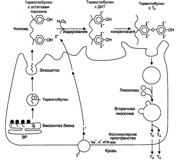 Гормоны. Синтез тиреоидных гормонов