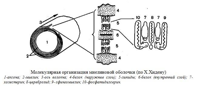 Молекулярная организация миелиновой оболочки. Нервная ткань