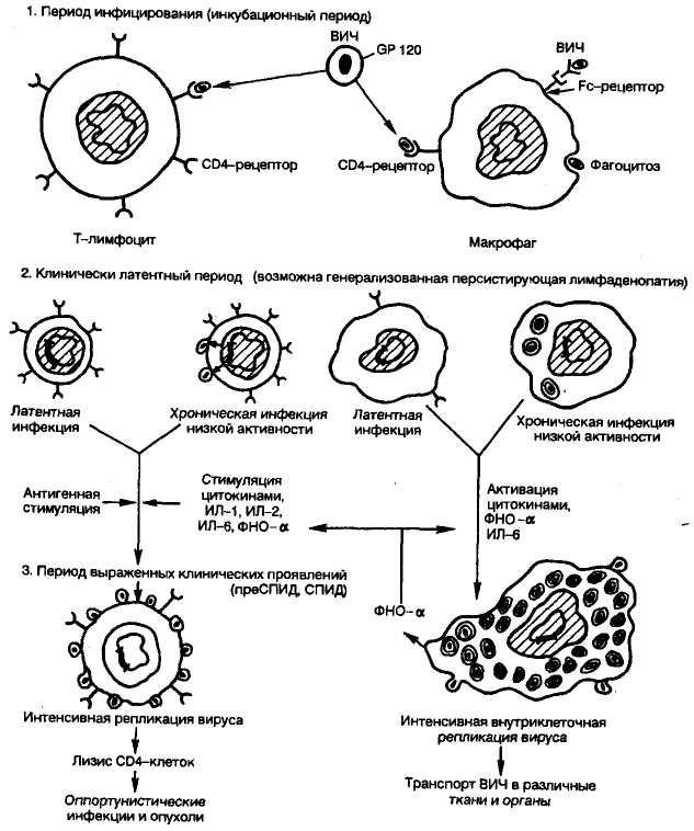 Взаимодействие ВИЧ и основных клеток-мишеней. ВИЧ-инфекция.