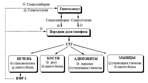 действие соматостатина