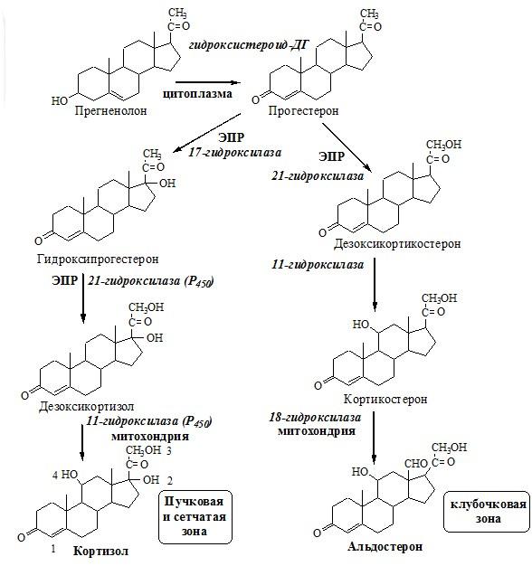 Синтез кортизола