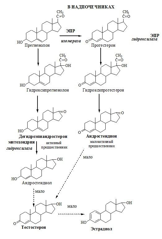 Синтез андрогенов и их предшественников