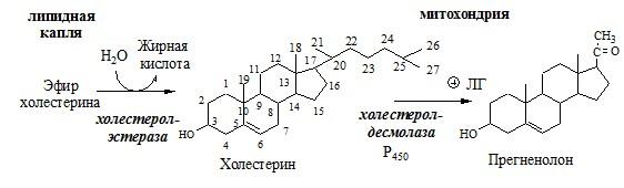 Синтез андрогенов