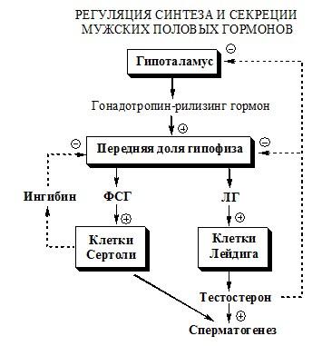 Регуляция синтеза и секреции андрогенов