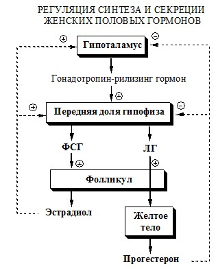 Регуляция синтеза и секреции женских половых гормонов