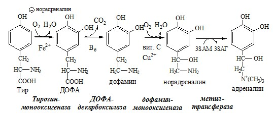 Синтез катехоламинов. Гормоны