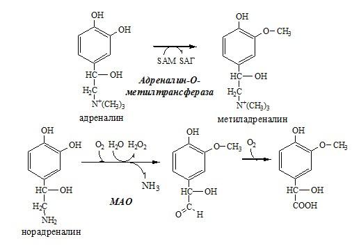 Инактивация катехоламинов. Гормоны