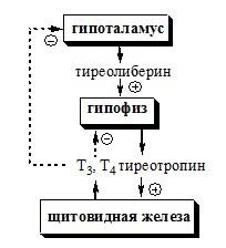 Регуляция синтеза и секреции йодтиронинов. Гормоны