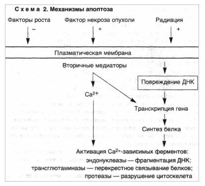 Механизмы апоптоза
