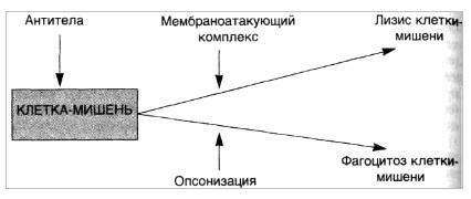 Реакции гиперчувствительности II типа — комплементзависимые реакции