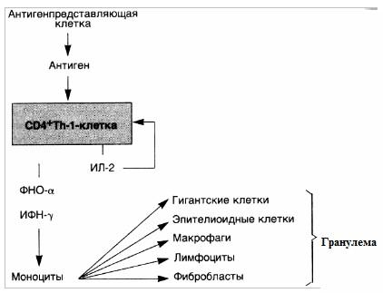 Реакции гиперчувствительности IV типа — гиперчувствительность замедленного типа