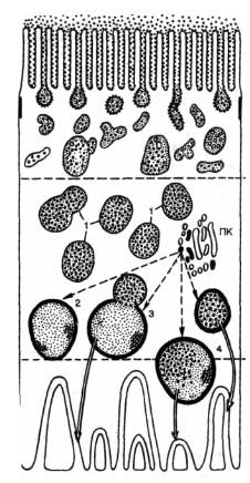 Вакуолярно-лизосомальный аппарат реабсорбции белка нефроцитом. Паренхиматозные дистрофии
