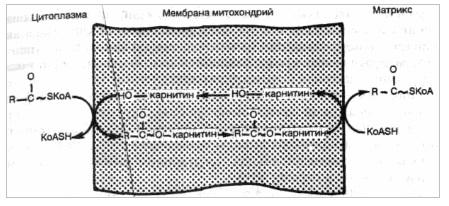 Транспорт жирных кислот через митохондриальную мембрану