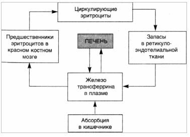 Циклы железа в организме. Эндогенные пигментации.