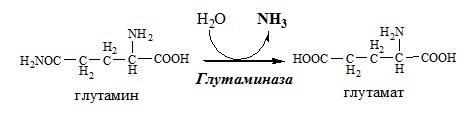 аммониогенез. Почки