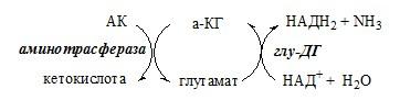 Непрямое дезаминирование аминокислоты