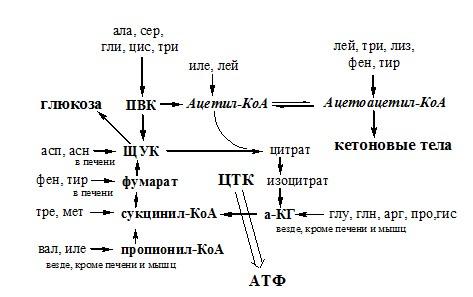 обмен безазотистого остатка аминокислоты