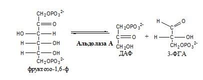 реакции аэробного и анаэробного гликолиза. Углеводы