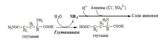 гидролиз глутамина