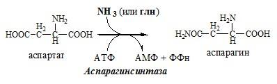 Обмен аспарагина