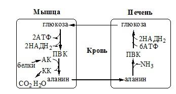 Обмен аланина. глюкозо-аланиновый цикл